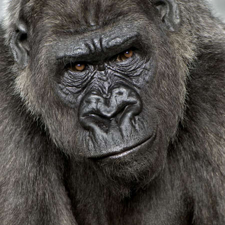 ape: Young Silverback Gorilla in front of a white background Stock Photo