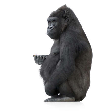 king kong: Young Silverback Gorilla in front of a white background Stock Photo