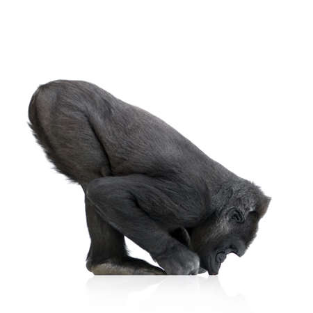 myopic: Young Silverback Gorilla in front of a white background Stock Photo