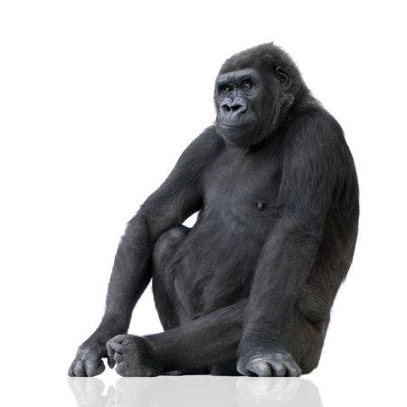 gorilla: Young Silverback Gorilla delante de un fondo blanco Foto de archivo
