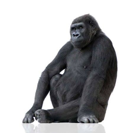 Young Silverback Gorilla in front of a white background Imagens