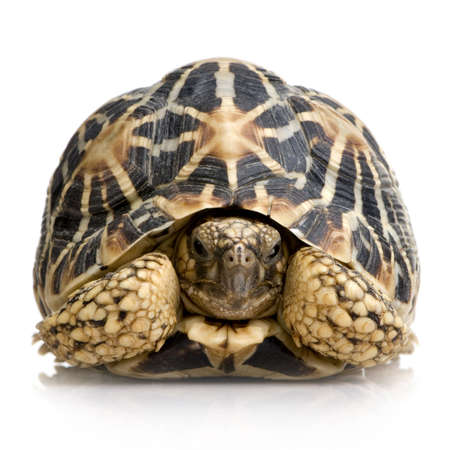 Indian Starred Tortoise in front of a white backgroung Stock Photo