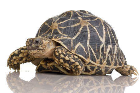 omnivore: Indian Starred Tortoise in front of a white backgroung Stock Photo