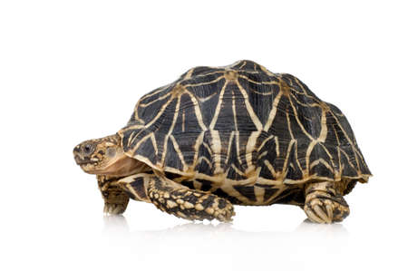 primal: Indian Starred Tortoise in front of a white backgroung Stock Photo