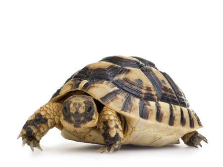 omnivore: Hermans Tortoise in front of a white backgroung