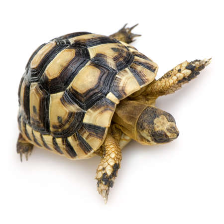 primitivism: Hermans Tortoise in front of a white backgroung