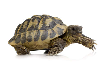 Hermans Tortoise in front of a white backgroung