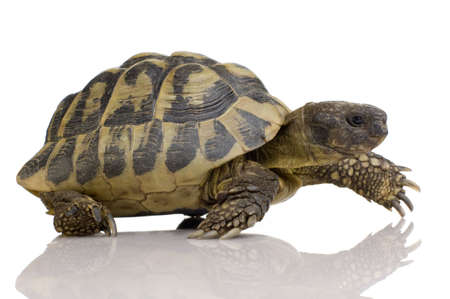 tardy: Hermans Tortoise in front of a white backgroung
