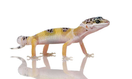 Young Leopard gecko in front of a white background photo