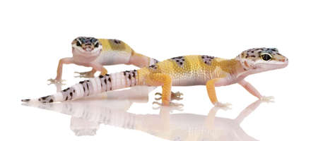 couple of Young Leopard gecko in front of a white background photo