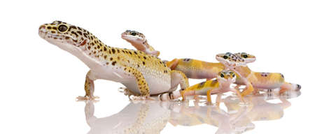 gecko: Leopard gecko in front of a white background Stock Photo