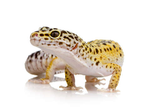 primal: Young Leopard gecko in front of a white background