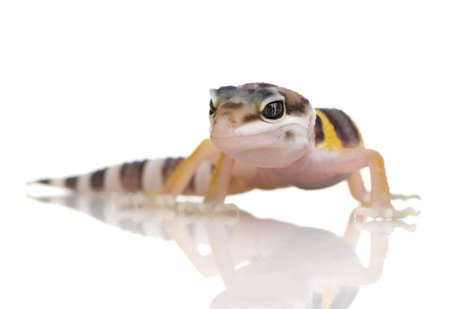 primal: Juvenile Leopard gecko in front of a white background