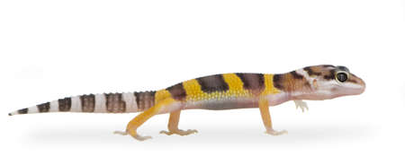 Juvenile Leopard gecko in front of a white background photo