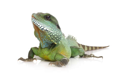 primal: Bearded Dragon in front of a white background