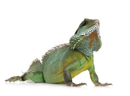 lagartija: Bearded Dragon delante de un fondo blanco Foto de archivo