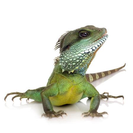 lagartija: Dragon barbudo delante de un fondo blanco  Foto de archivo