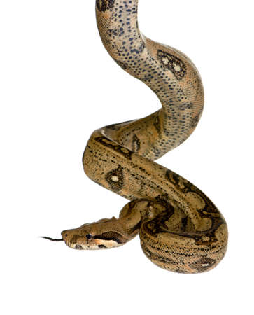 constrictor:  in front of a white background Stock Photo