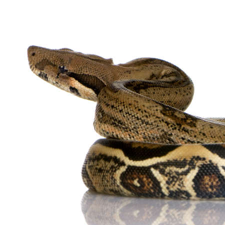 constrictor: Boa constrictor in front of a white background