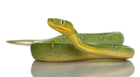 coldblooded: Emerald Tree Boa - Corallus caninus in front of a white background