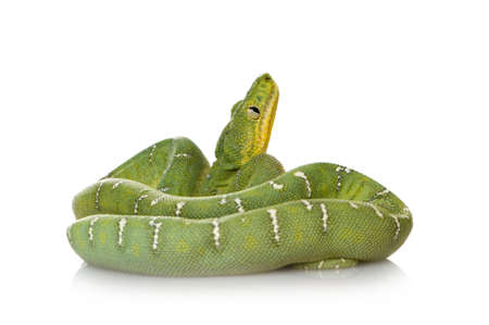 slithering: Emerald Tree Boa - Corallus caninus in front of a white background