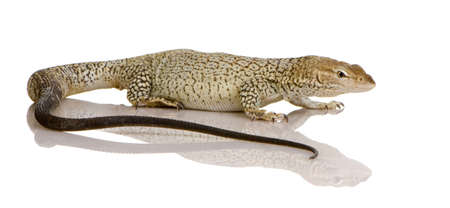freckled: Freckled Monitor in front of a white background