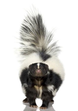 zorrillo: Skunk rayas - Mephitis mephitis delante de un fondo blanco Foto de archivo
