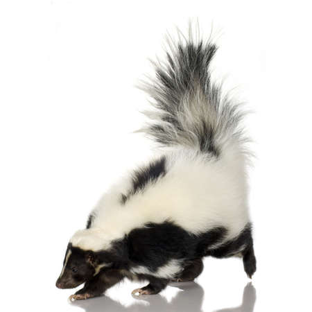 odour: Striped Skunk - Mephitis mephitis in front of a white background