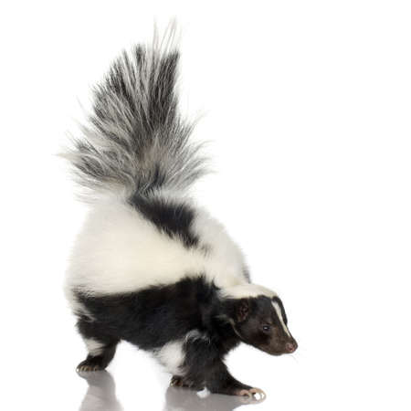 skunk: Striped Skunk - Mephitis mephitis in front of a white background