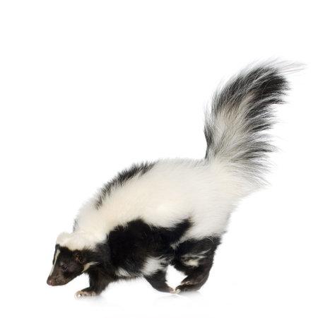 stinktier: Striped Skunk - Mephitis mephitis vor einem wei�en Hintergrund