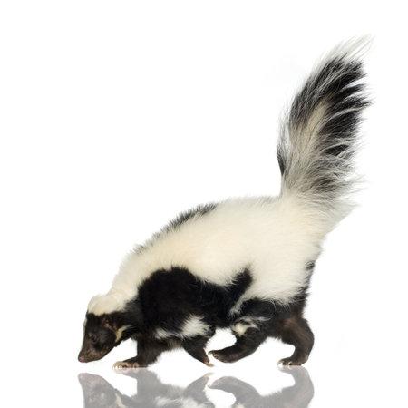 zorrillo: Striped Skunk - Mephitis Mephitis delante de un fondo blanco