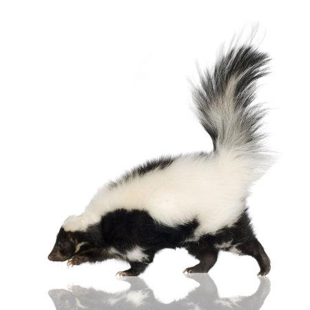 stinktier: Striped Skunk - Streifenskunks-Streifenskunks vor der einen wei�en Hintergrund