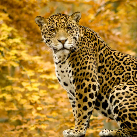 jaguar: Jaguar - onca de Panthera delante de un fondo blanco Foto de archivo