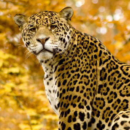 big cat: Jaguar - Panthera onca in front of a white background