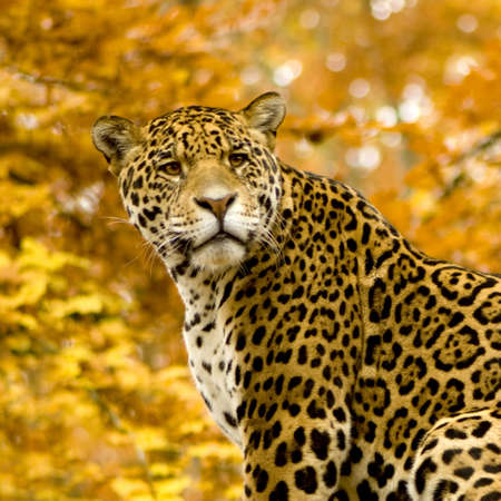 onca: Jaguar - Panthera onca in front of a white background