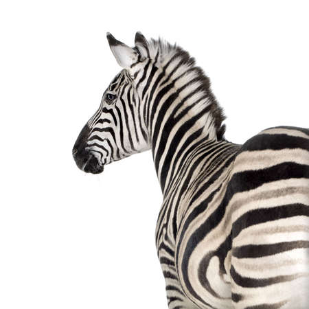 cebra: Zebra delante de un fondo blanco