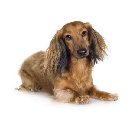 doxie: Dachshund (4 years) in front of a white background