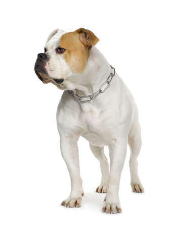 wrinkely: American Bulldog (4 years) in front of a white background