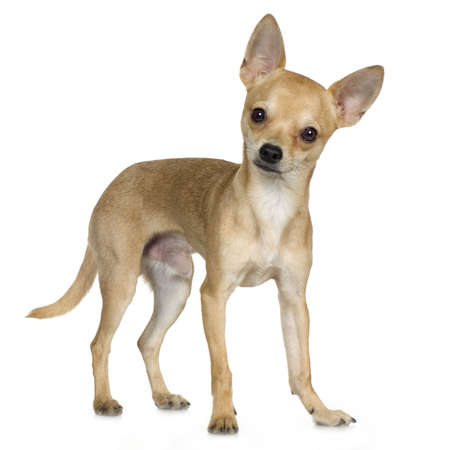 whelp: chihuahua (9 months) in front of a white background