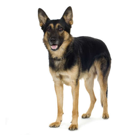 german shepherd (4 years) in front of a white background Stock Photo - 2165686