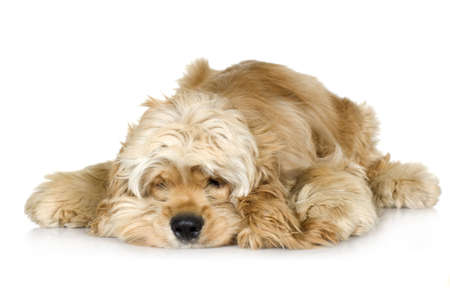 gundog: American Cocker Spaniel (7 months) in front of a white background Stock Photo