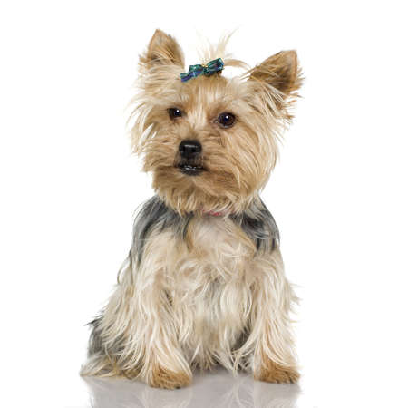 Yorkshire Terrier (2 years) in front of a white background photo