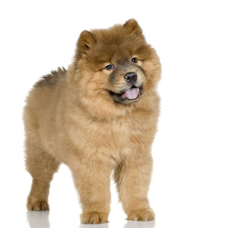 chow: Cow chow (3 months) in front ofa  white background