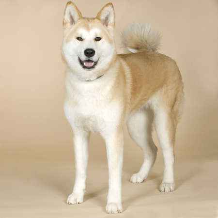 alertness: Akita inu (14 months) in front of white background
