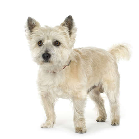 Cairn Terrier (11 a�os) delante de un fondo blanco  Foto de archivo - 2165696