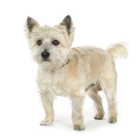 Cairn Terrier (11 años) delante de un fondo blanco  Foto de archivo - 2165696