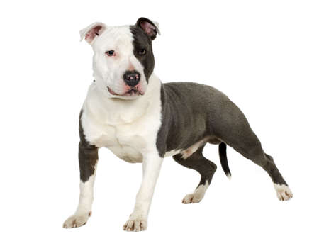 American Staffordshire terrier (7 months) in front of a white background Stock Photo - 2165755