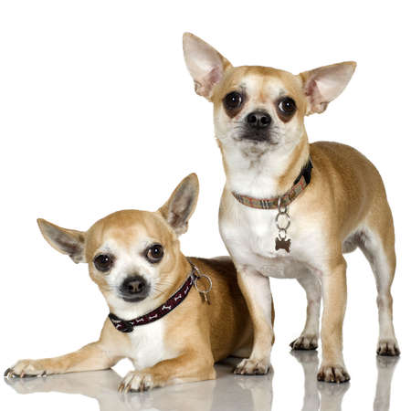 minuscule: chihuahua (2 and 6 years) in front of a white background Stock Photo