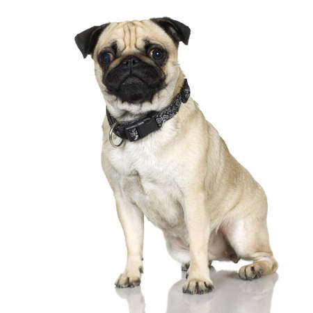 stitting: Pug (2 years) in front of a white background  Stock Photo