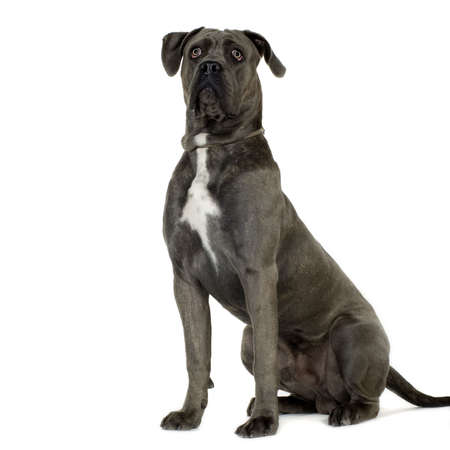 cane corso: Cane Corso (9 months) in front of white background Stock Photo